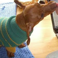 Why Do Dogs Lick The Sofa Why Do Dachshunds Love To Lick Your Face My Mini Doxie