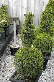 green mountain boxwood poodle form buxus green mountain