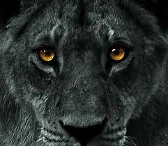 11 black lions images animals black lion