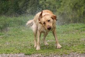 belgian shepherd nova scotia free images wet pet fur hunting dog vertebrate labrador