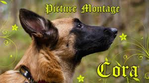 4 types of belgian sheepdogs cora the malinois picture montage youtube