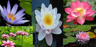 Lotus Flower In Muddy Water - lotus elements and quality of lotus nature of lotus types of