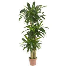4 foot corn stalk dracaena potted 6648