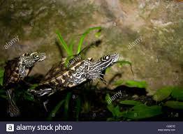 Ringed Map Turtle Ringed Sawback Turtle Graptemys Oculifera Stock Photo Royalty