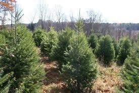 christmas tree farms where to go to cut your own the boston globe