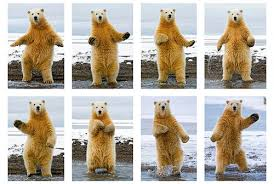 Dancing Bear Meme - five benefits of online gambling royal vegas online casino blog