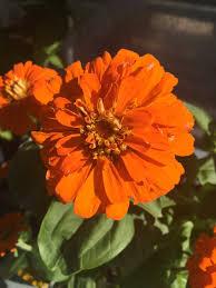 best orange flowers for the garden artsy garden