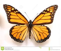 monarch butterfly royalty free stock image image 195726