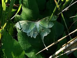 100 kitchen cabinet moths pests planning poor moths in the