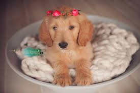 goldendoodle puppy treats f1 standard goldendoodle puppies 2017 goldendoodle
