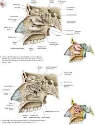 Parts Of Ethmoid Bone Nasal Cavity U0026 Nose Atlas Of Anatomy