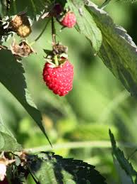 plants native to illinois small fruit crops for the backyard university of illinois extension