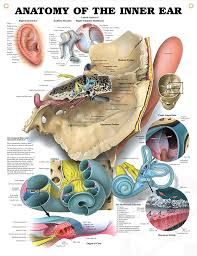 Inner Ear Anatomy And Physiology Anatomy Of The Inner Ear Anatomy Poster For Medical Office And