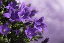 fiori viola sfondi fiori fiorire lilla fiore flora gocce petalo
