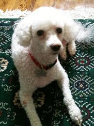 meet cuddles a petfinder adoptable bichon frise dog potomac md