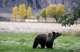 Bears Montana Hunting And Fishing - grizzly mauls woman in paradise valley s tom miner basin montana