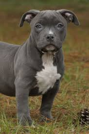 american pit bull terrier lab mix 22 best blue eyes images on pinterest animals blue pits and pit