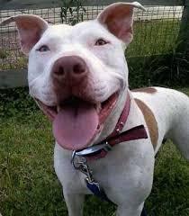 american pitbull terrier vs amstaff american pit bull terrier vs american bully