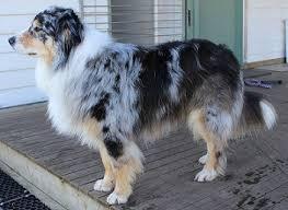 pictures of australian shepherd dogs dog coat colour genetics