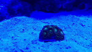 led lighting for zoanthids blue lights and zoas youtube