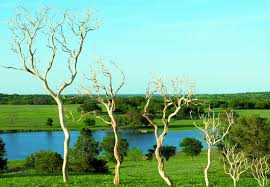 manzanita branches for sale manzanita branches for sale sandblasted manzanita branches
