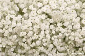 baby s breath flower baby s breath plant gypsophila how to grow and care plantopedia
