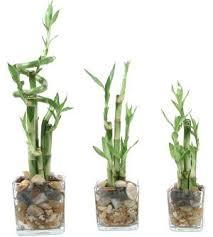 best 25 lucky bamboo ideas on lucky bamboo plants