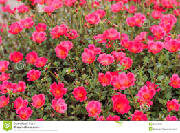 beautiful flowers flowering purslane pussley stock photography