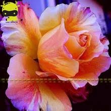Climbing Plants That Flower All Year - online get cheap varieties roses aliexpress com alibaba group