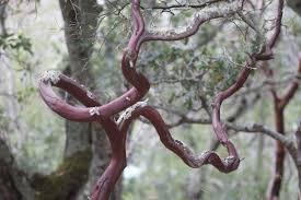 manzanita branches manzanita branches soundhealher