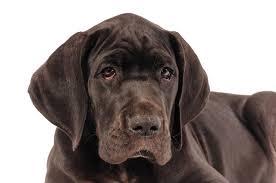 australian shepherd zu verschenken dogge mix dogge mischling gesünder als eine reinrassige dogge