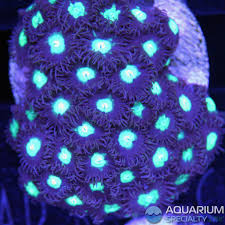 led lighting for zoanthids mint chocolate chip zoanthid aquarium specialty