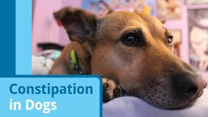 Dog Hair Loss On Back Dog Constipation What To Give A Constipated Dog Petmd Petmd
