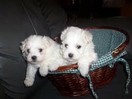 bichon frise good and bad chi chon bichon frise chihuahua mix info care puppies pictures