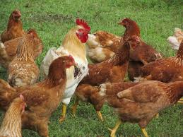 chicken hen rooster wallpaper download cucumberpress com
