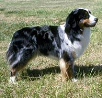 australian shepherd los angeles rescue adopt an australian shepherd dog breeds petfinder