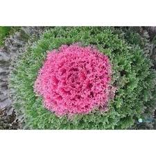 ornamental kale mixed seeds for home garden 50 seeds