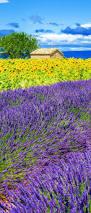290 best my lavander images on pinterest flowers lavender