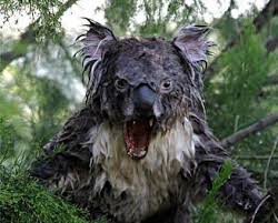 i am koala album on imgur