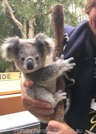pin by jill mord on koalas pinterest animal bears and baby