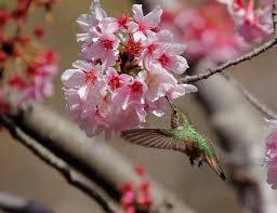 cherry flower hummingbird חיפוש ב tatt inspiration