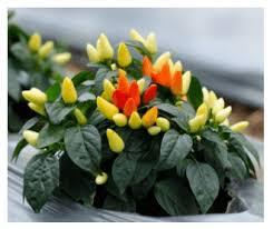 ornamental pepper plant capsicum annuum growing and care