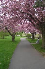Niagara Botanical Garden Cherry Blossoms At Niagara Parks Botanical Gardens Mapio Net