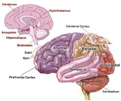 Anatomy Of The Brain And Functions Baby U0027s Brain Begins Now Conception To Age 3 Urban Child Institute