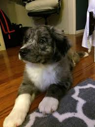 australian shepherd husky meet chowder an australian shepherd mix with beagle dog puppy to