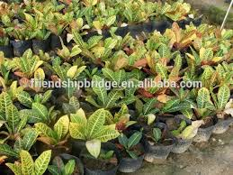 multi color leaves foliage codiaeum variegatum of outdoor