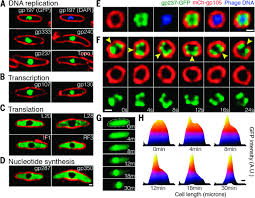 Assembly A Nucleus Like Structure During Viral Replication In