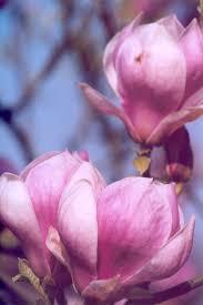 magnolia flowers science magnolia flowers