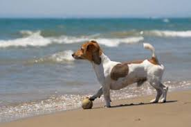 haircut ideas for long hair jack russell dogs jack russell terrier appearance grooming
