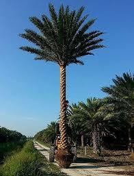sylvester date palm tree sylvestris palmpedia palm grower s guide